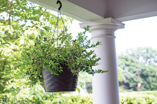 Midnight Cascade hanging basket blueberries