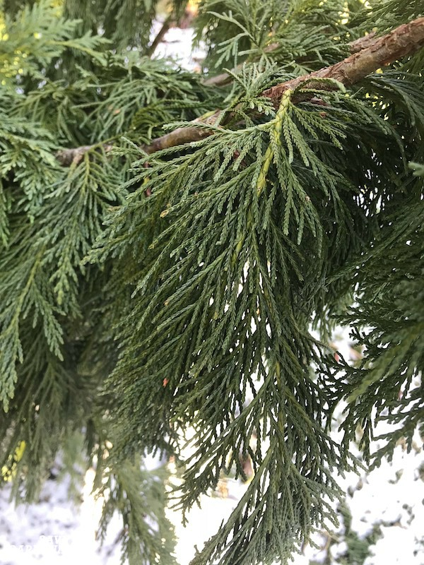 The soft needles of the Alaskan cedar