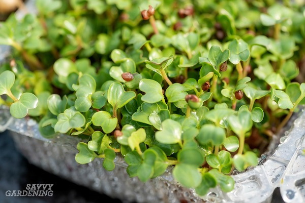 Sprouting papers make growing microgreens easy.