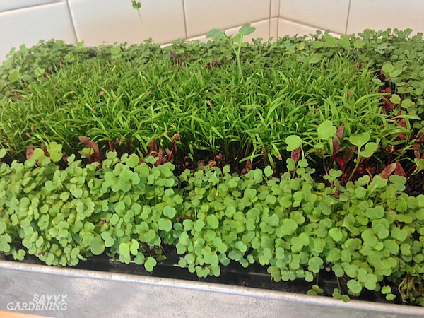 How to grow broccoli sprouts and microgreens on grow mats.