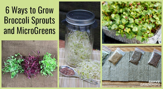 Growing sprouts of broccoli