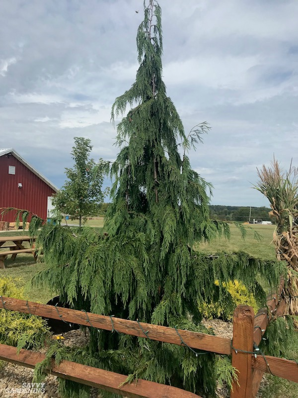 The Nootka false cypress makes a great specimen tree in the landscape.