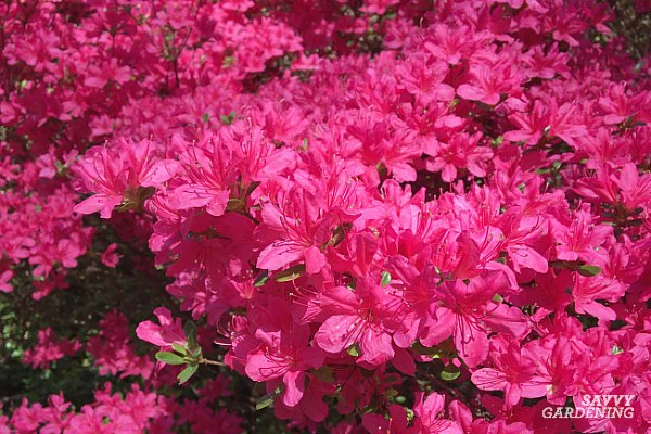 azaleas are early spring flowering shrubs