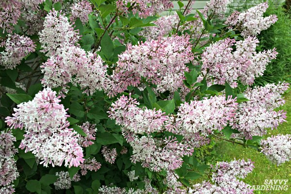 lilacs are easy to grow spring flowering shrubs