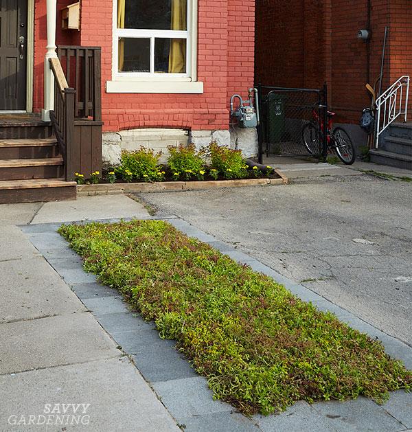 A driveway garden full of sedums
