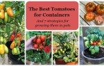 Learn the best tomato varieties to grow in pots