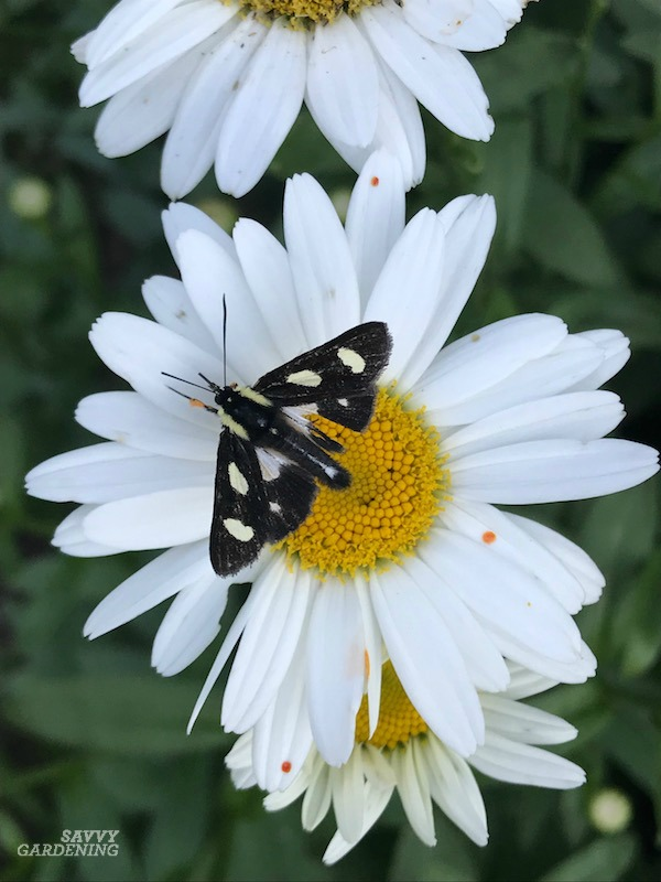 Shasta daisy blooms are adored by pollinators.