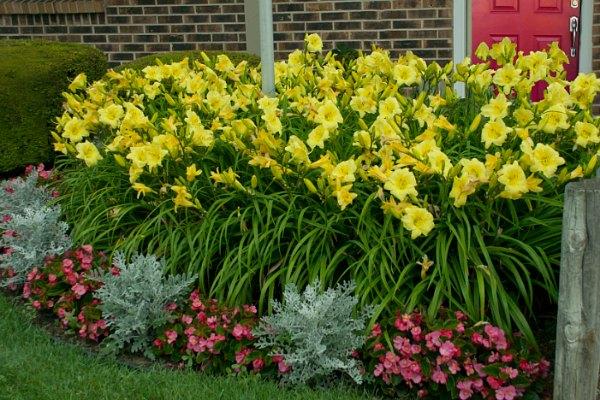 Daylilies are low maintenance garden plants