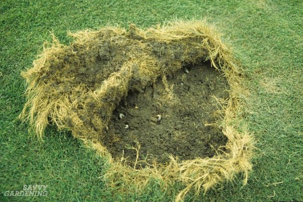 How to identify grub worm damage in your lawn.