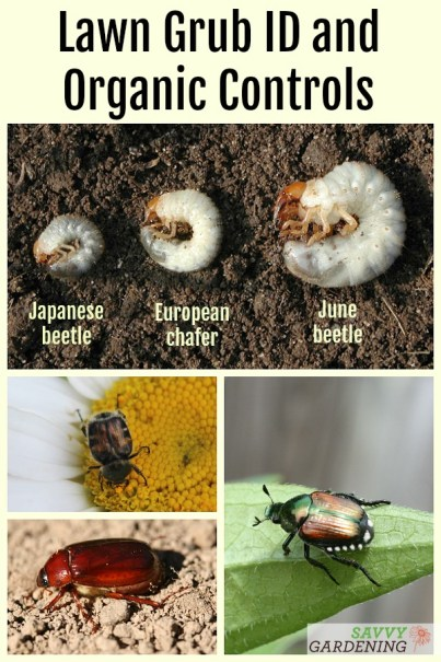 How to control grubs organically and how to identify whether or not you have a grub worm problem. #landscaping #gardeningtips