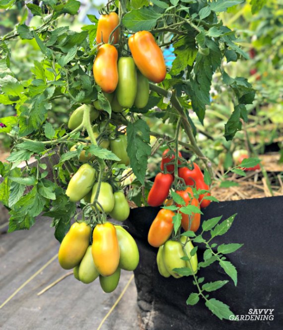 tomatoes in fabric pots