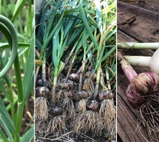 when to harvest garlic and garlic scapes