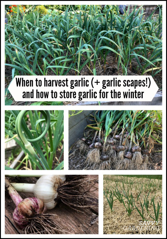 When to harvest garlic (and garlic scapes) and how to store garlic for the winter