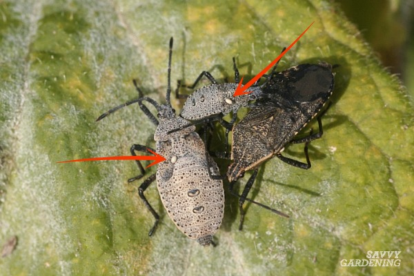 Squash bugs with tachinid eggs