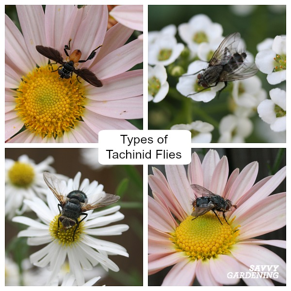 Learn how to ID a tachinid fly