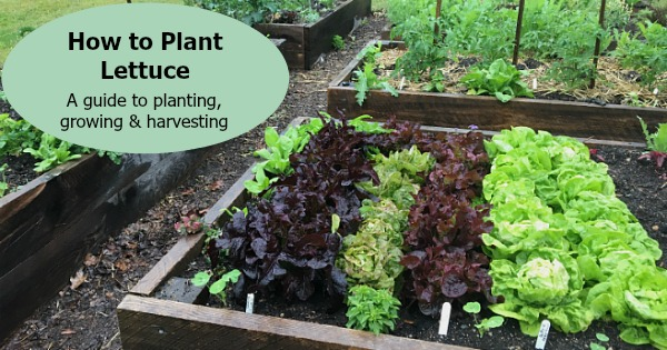 How to plant lettuce: A guide to planting, growing & harvesting lettuce