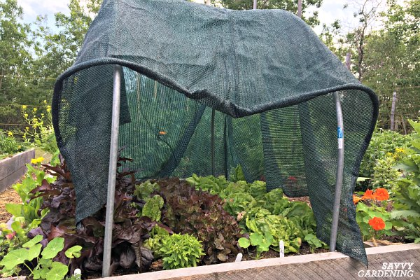 Use shade cloth to protect spring salad greens