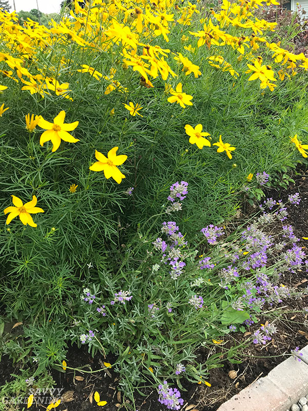 Coreopsis and lavender, two deer-resistant perennials in my garden.