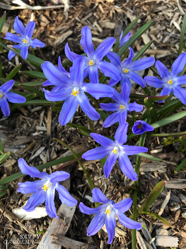 Glory of the snow spring bulbs