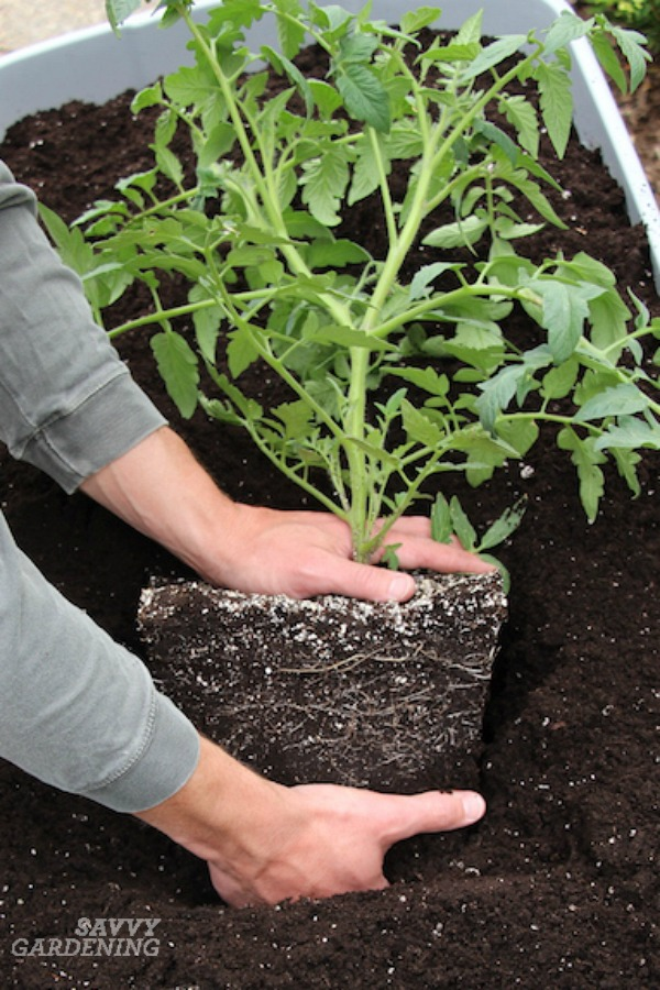 Always loosen the roots before planting a tomato plant.