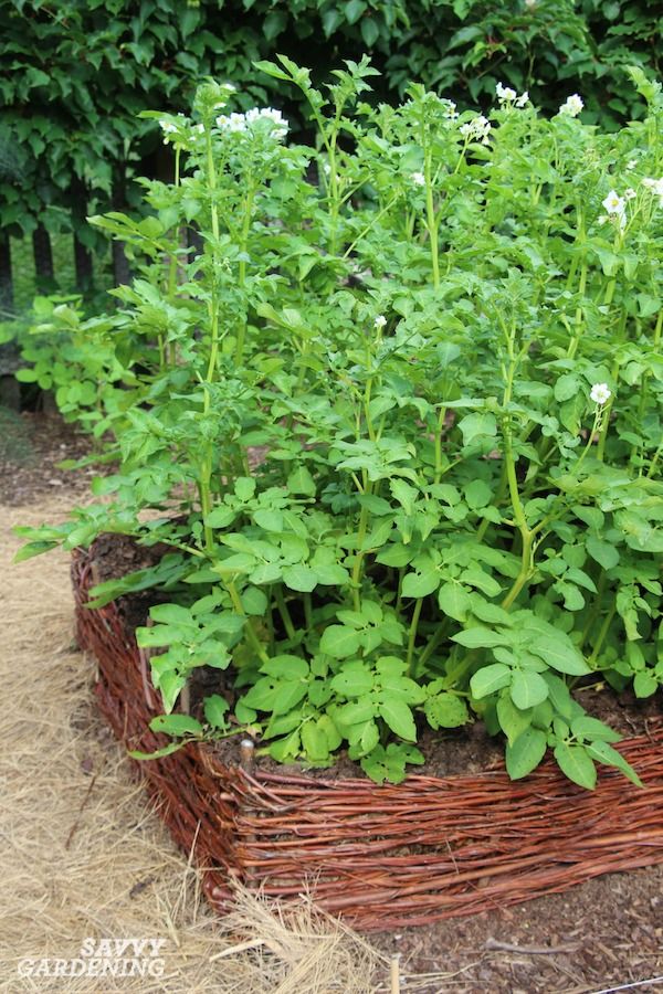 Hilling potato plants results in bigger yields