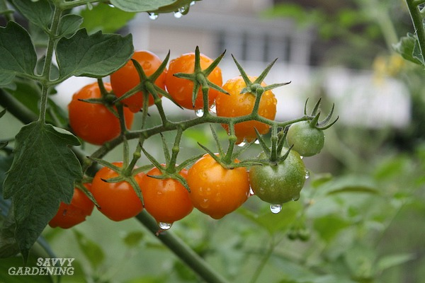 Is it necessary to prune tomato plants?
