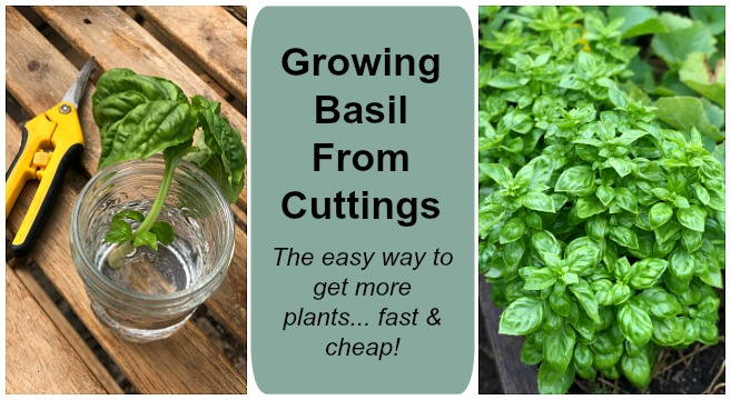 Basil can be started from seeds, transplants, or with cuttings.