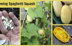 Step by step technique for growing spaghetti squash