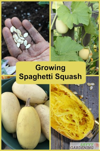 Growing spaghetti squash from seed to harvest