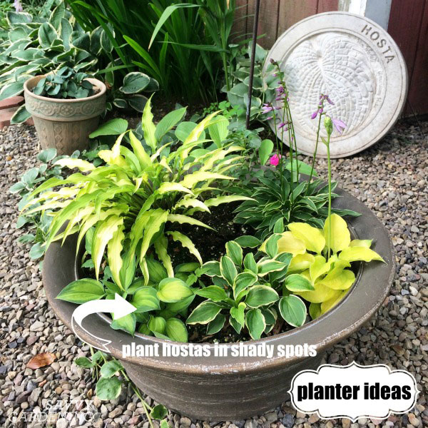 Miniature hostas are great container choices for shady areas of the garden.