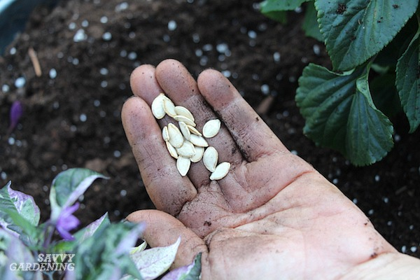 How to sow seeds of squash