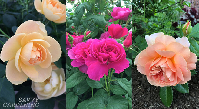 how to plant roses in the garden