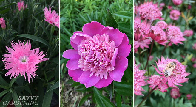 Pink perennials for spring, summer, and fall blooms
