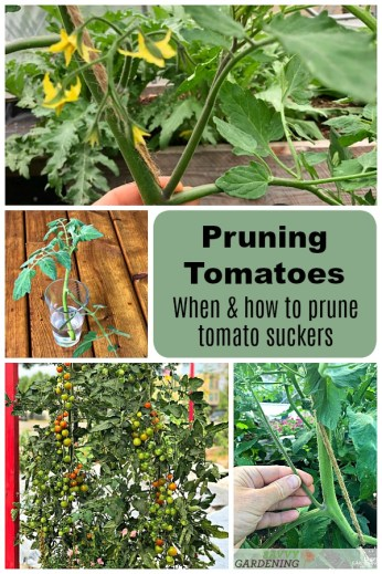 Learn when and how to prune tomato plant suckers