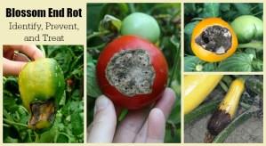 Tomato blossom end rot prevention