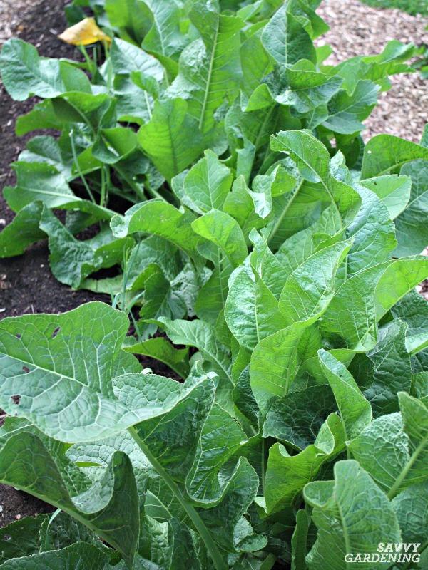 Horseradish plant in a garden