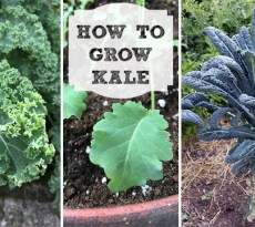 How to grow kale: Sowing seeds, pest prevention, and harvesting tips
