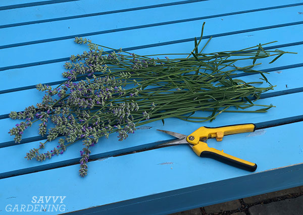 harvested lavender with pruners