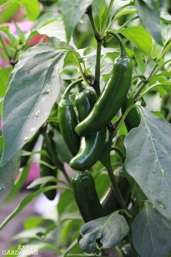 Learn how to care for pepper plants throughout the growing season.
