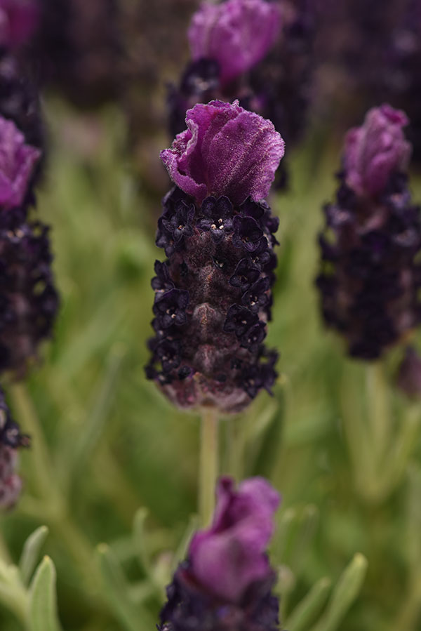 lavandula deep purple lavender