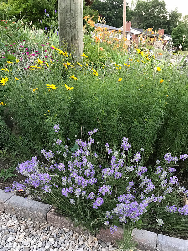 Even though you'll be harvesting lavender, there's no reason you can't enjoy its ornamental qualities in the garden. Here, it's grown with coreopsis
