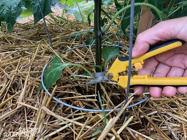 Prune pepper plants to limit pest damage
