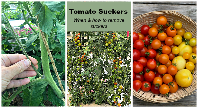 When and how to prune tomato suckers