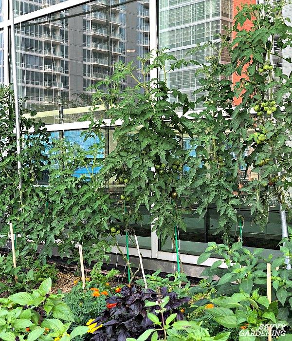 pruned tomato plant