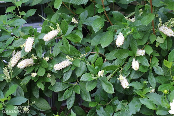 Clethra is one of many low maintenance shrubs