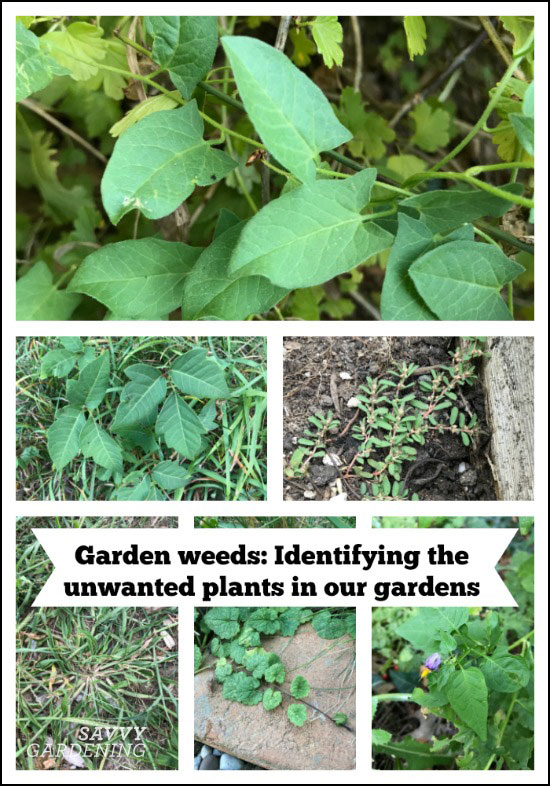 Garden weeds: Identifying the unwanted plants in our gardens
