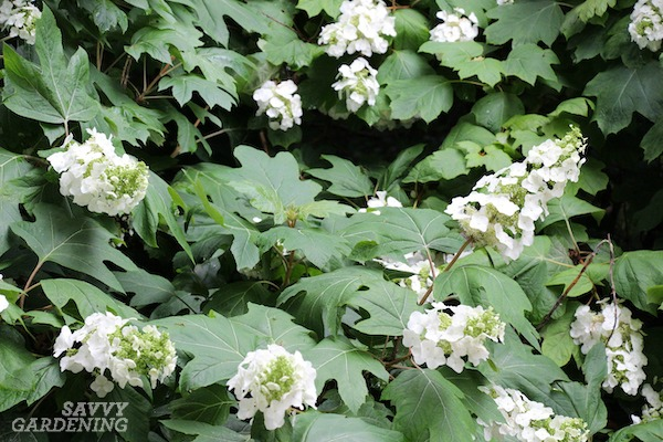 Oakleaf hydrangeas are among the most reliable bloomers.