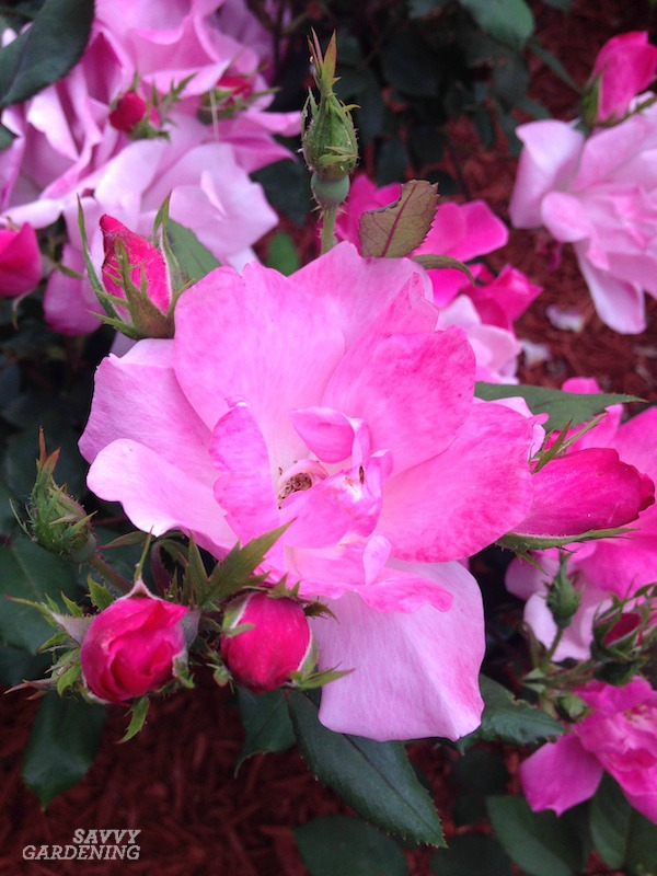 Shrub roses require little care.