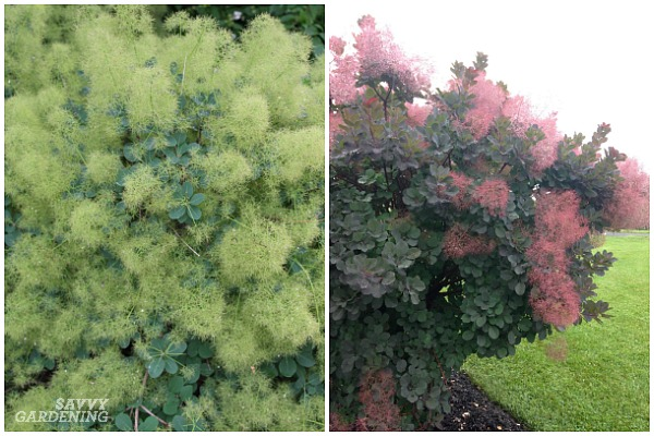 Smokebushes are excellent choices for low maintenance landscapes