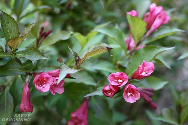 Weigela is a great low maintenance flowering shrub.
